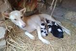 'જૂલી'એ 5 Puppiesને જન્મ આપ્યો તો માલિકે 12 ગામના લોકોને આપી Grand Party