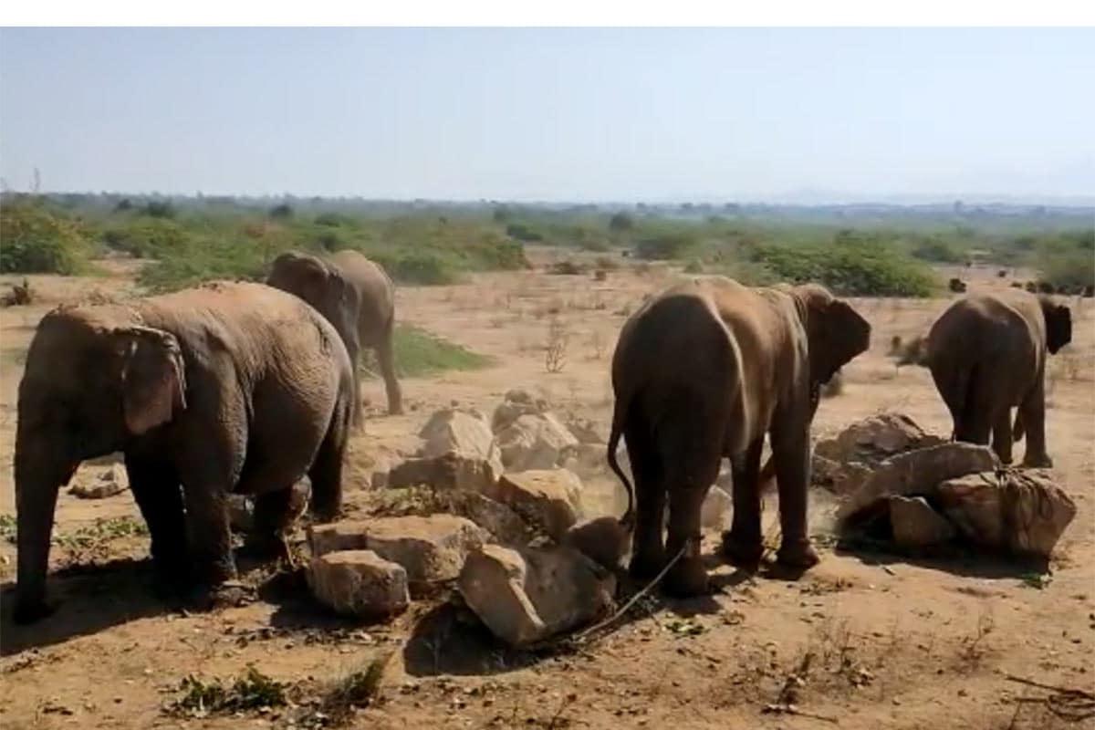 આનંદ જયસ્વાલ, બનાસકાંઠા: બનાસકાંઠા જિલ્લાના પાંથાવાડા પાસે આવેલા સાતસણ ગામ (Satsan village)માં એક સાથે ચાર જીવતા હાથી (Elephants) બિનવારસી હાલતમાં મળી આવતા લોકોમાં કુતૂહલ સર્જાયું છે. ચાર હાથી બિનવારસી હાલતમાં મળી આવ્યાના સમાચાર મળતાં જ ફોરેસ્ટ વિભાગ (Forest department) ઘટનાસ્થળે પહોંચી હાથીઓને કોણ મૂકી ગયું અને હાથી માટે શું વ્યવસ્થા કરવી તે માટેની તજવીજ હાથધરી છે.