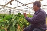 Sucess Story: ઠંડા પ્રદેશમાં ઉગતા શિમલા મિર્ચને કચ્છી ખેડૂતે ઉગાડ્યા રણપ્રદેશમાં