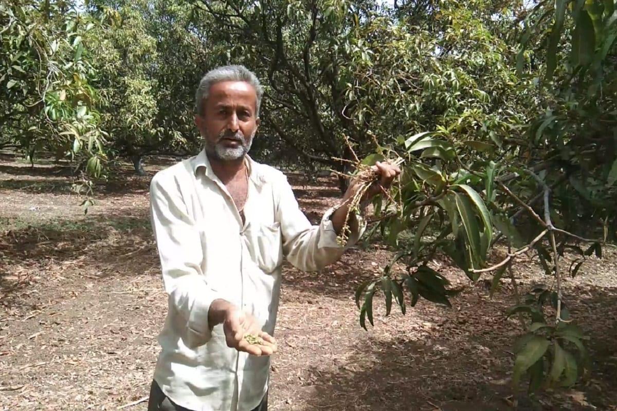 દિનેશ સોલંકી, તલાલા: ગીર સોમનાથ (Gir Somnath) જિલ્લાના તાલાલા (Talala) પંથકની આબાદી અને સમૃધ્ધિમાં જેનું અગ્રીમ અને સર્વોત્તમ યોગદાન છે તે ગીર પંથકનું અમૃતફળ કેસર કેરીના (Kesar mango) પાકને ચાલુ વર્ષે ઘણું જ નુકશાન થયું છે. જેના કારણે ખેડૂતોએ (Farmers) વળતર ચૂકવવાની માંગણી કરી છે. ગીરની પ્રખ્યાત કેસર કેરીને આ વર્ષે વાતાવરણે વ્યાપક અસર કરી છે જેનાથી 70 ટકા જેટલો કેસર કેરીનો પાક નાશ પામ્યો છે. જેમાં ચાલુ વર્ષો કેસર કેરીના ઝાડ પર ઈયળ, મઘીયો અને નાની જીવાતનાં કારણે વ્યાપક પ્રમાણમાં પાકને મોટો ફટકો પડ્યો છે. તાલાળા પંથકની જીવાદોરી સમાન કેસર કેરી નાશ પામતા કિસાન સંઘ દ્વારા મામલતદારને આવેદન પત્ર પાઠવી કેરીના ઉત્પાદક ખેડૂતોને યોગ્ય વળતર ચુકવવાની માંગ કરવામાં આવી છે.