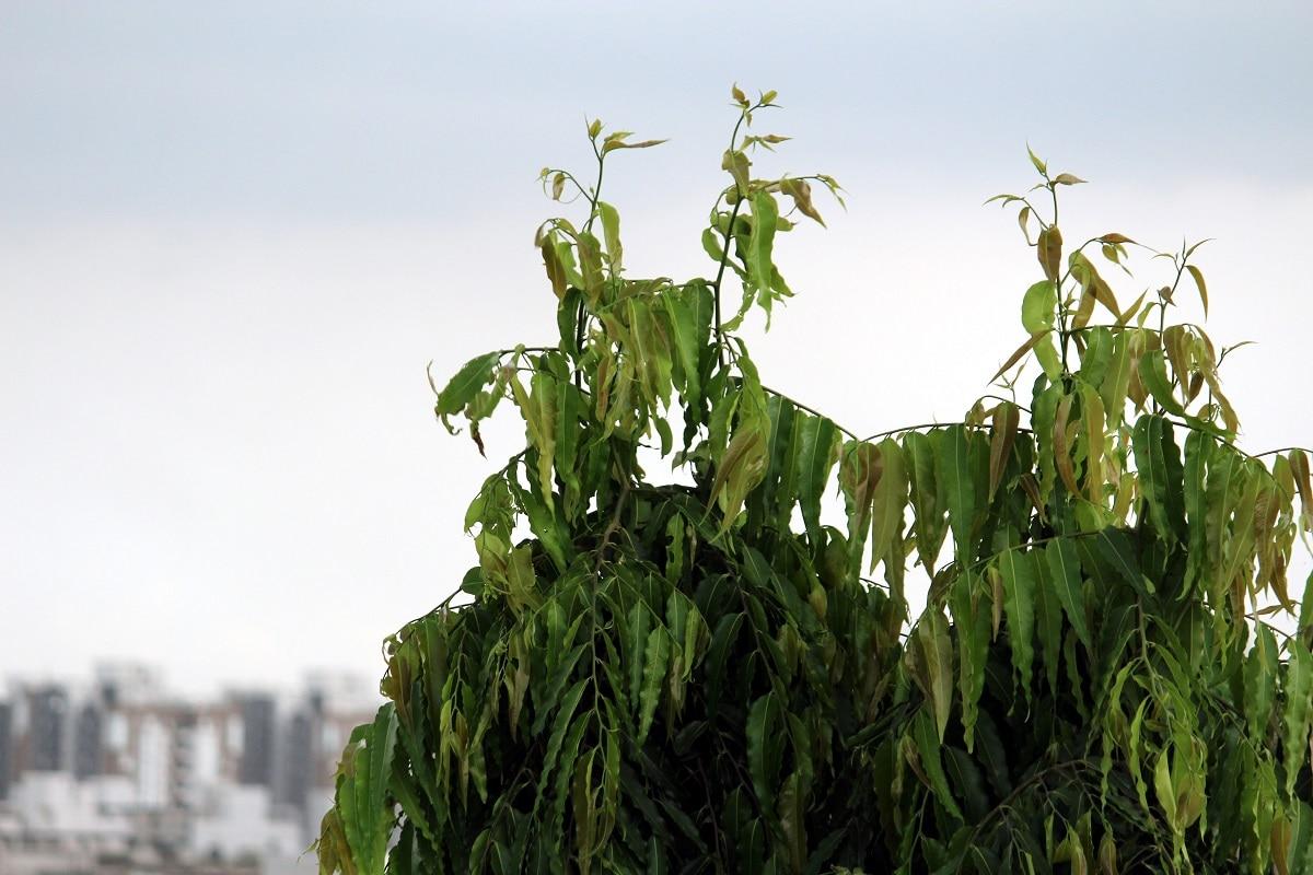 આસોપાલવ માત્ર હવામાં ઓક્સિજન જ છોડતું નથી પરંતુ તેના ફૂલા પર્યાવરણને સુગંધિત રાખે છે અને તેની ખૂબસૂરતીને વધારે છે.આ એક નાનું વૃક્ષ હોય છે, જે એકદમ સીધું થાય છે. પર્યાવરણ નિષ્ણાતોનું માનીએ તો આસોપાલવનું વૃક્ષ લગાવવાથી માત્રા વાતાવરણ જ શુદ્ધ રહેતું નથી. પરંતુ તેની શોભા પણ વધે છે. આસોપાલવનું વૃક્ષ દરેક બીમારીને દૂર રાખે છે. આ વૃક્ષ ઝેરી ગેસ ઉપરાંત હવાના બીજા દૂષિત કણોને પણ ગ્રહણ કરી લે છે.