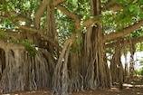 Health Tips: વડનું ઝાડ તમારા સ્વાસ્થ્યને અનેક લાભ પ્રદાન કરે છે, જુઓ શું છે તેના ફાયદા