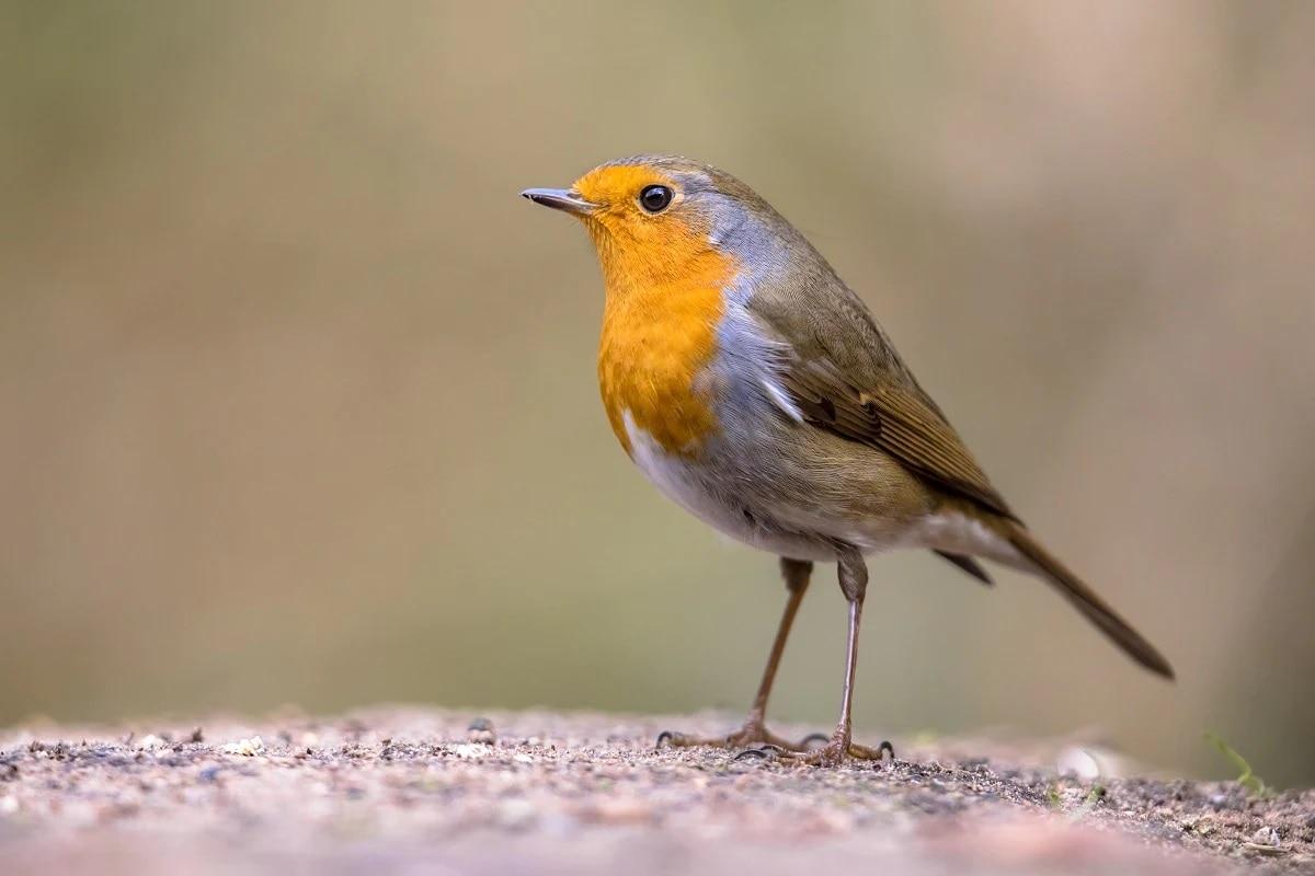 નેચરમાં પ્રકાશિત થયેલ સ્ટડી અનુસાર પક્ષીઓની આંખોમાં એક એવું રસાયણ હોય છે, જે ચુંબકત્વ પ્રત્યે સંવેદનશીલ હોય છે. આ રસાયણ સંશોધનકર્તાઓની મતને સિદ્ધ કરે છે. યુનિવર્સિટી ઓફ ઓક્સફોર્ડમાં રસાયણ શાસ્ત્રના પ્રોફેસર પીટર હોર જણાવે છે કે પક્ષી પૃથ્વીની મેગ્નેટીકને જોઈ શકે છે. સંશોધનકર્તા જણાવે છે કે અત્યાર સુધીમાં તે સુનિશ્ચિત કરી શકાયું નથી, પરંતુ વૈજ્ઞાનિકો તેમની શોધને લઈને ખૂબ જ ઉત્સાહિત છે.