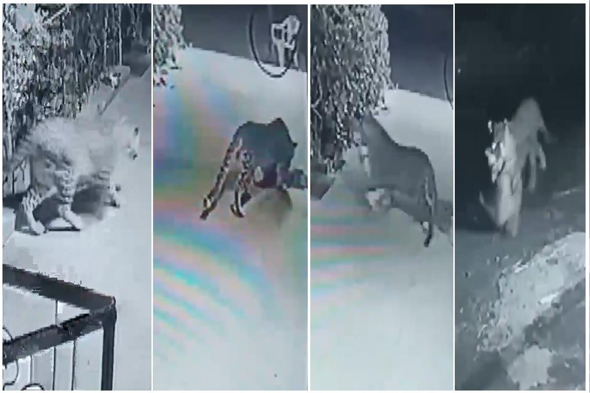 શ્વાનના શિકારનો live video! ધીમા પગલે દીપડો ઘર આળગ બેઠેલા પાળતુ શ્વાનનો શિકાર કરી ઉઠાવી ગયો