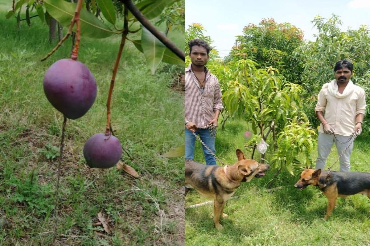 જબલપુર: ફળોનાં રાજા કેરી ન ફક્ત ભારત પણ આખી દુનિયામાં લોકો દ્વારા ખુબજ પસંદ કરવામાં આવે છે. વિભિન્ન જાતની કેરીનો ભાવ અલગ અલગ હોય છે. કેરીની સિઝનમાં કેરીનાં બાગની રખેવાળી થવી આપણાં દેશમાં એક સામાન્ય વાત છે. બાગમાંથી નીકળતા બાળકો કે આસ પાસથી જતાં લોકોનું મન ઝાડ પર લટકતી કેરીઓ જોઇને લલચાઇ જાય છે. એવાંમાં કેરીનાં બાગનાં માલિકની મજબૂરી હોય છે તે તેનાં બાગની રખેવાળી કરે કે કરાવે છે. પણ આપને જાણીને હેરાની થશે કે, મધ્યપ્રદેશનાં જબલપુરનાં બાગમાં કેટલીક કેરીની રખેવાળી માટે બાગનાં માલિકને એક બે નહીં પણ ચાર ચોકીદાર અને 6 કુતરાં તૈનાત કરવાં છે.