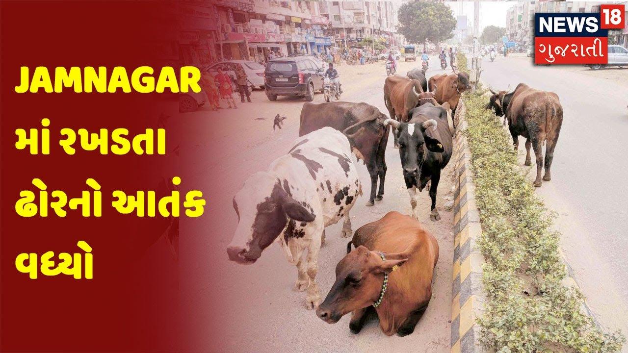 Jamnagar માં રખડતા ઢોરનો આતંક વધ્યો, શહેરીજનો ત્રાહિમામ પોકારી રહ્યા છે