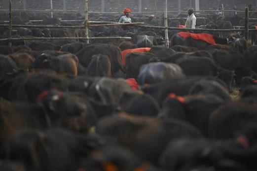 مہاراشٹر میں بیف کھانے کی آزادی، کاٹنا جرم:  ہائی کورٹ