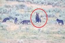 بچے کو بچانے کیلئے بھیڑیوں سے بھر گئی بھالو کی ماں اور پھر ہوا کچھ ایسا ، دیکھیں ویڈیو