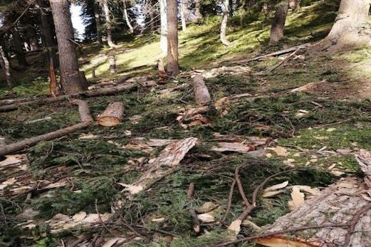 شوپیان میں سرسبز جنگلوں میں درختوں کی غیر قانونی کٹائی مسلسل جاری، انتظامیہ خاموش تماشائی