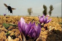 کشمیر: زعفران کی چنائی میں مصروف نظر آئےلوگ، لیکن پیداوارکی کمی کی وجہ سےکسانوں میں مایوسی