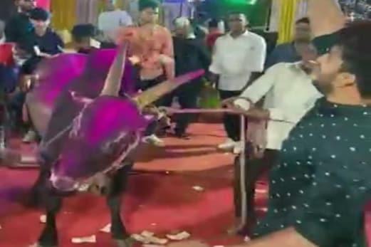 مہاراشٹر : ہلدی پروگرام میں بیل نچاکر پیسہ اڑانا پڑا مہنگا ، دولہا اور اس کے اہل خانہ کے خلاف انتظامیہ نے کی یہ بڑی کارروائی
