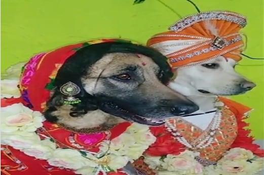 Dogs Marriage: کتے نے اپنی شادی میں کرایا فوٹوشوٹ ، لوگوں نے کہا : بس یہی دیکھنا باقی تھا