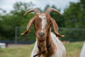 پاکستان میں پانچ لوگوں نے بکری کو بنایا اپنی ہوس کا شکار، جنگل میں لے جاکر کیا ریپ اور۔۔۔