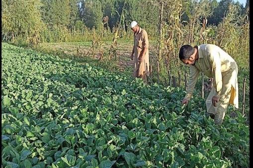 بشیر کی یہ کاوش انتہائی نفع بخش ثابت ہوئی۔ وہ سبزی کی اس کاشت پر اچھی خاصی رقم کمارہےہیں ۔ بشیر احمد بھٹ پڑھے لکھے نوجوانوں کے لیے مشعل راہ بنے ہیں۔