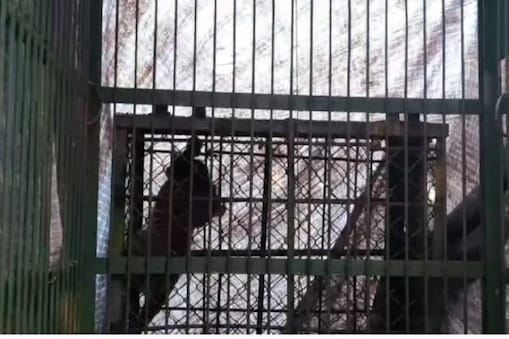 جموں وکشمیر: بڈگام میں محکمہ وائلڈ لائف کے عملے نے تیندوا کے ایک بچہ کو پکڑ لیا