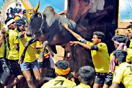 ராகுல் காந்தி வருகை: 430 வீரர்கள்: 788 காளைகள் - நாளை ஜல்லிக்கட்டுக்கு தயாராகும் அவனியாபுரம்