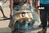 ஒடிசாவில் மீனவர் வலையில் சிக்கிய அரிய ஆமை