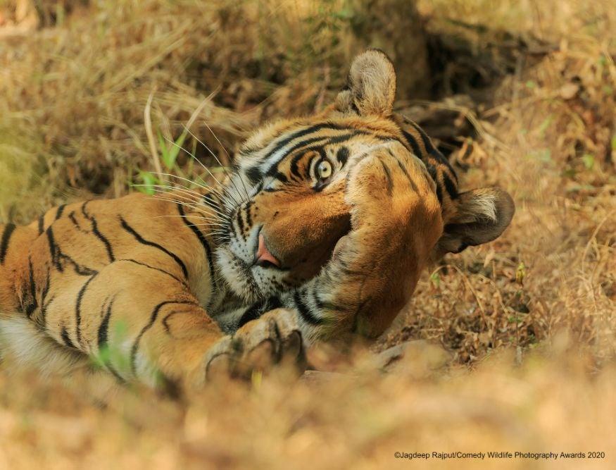 புலி மலையேரிடிச்சே.....Image: Jagdeep Rajput/Comedy Wildlife Photo Awards 2020)