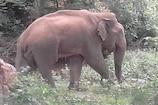 கோவை அருகே சுற்றி வந்த மக்னா யானை கேரளாவில் உயிரிழப்பு....