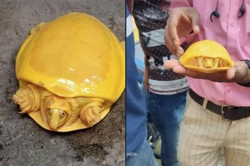 Rare Yellow turtle