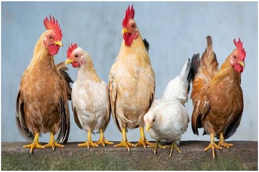 chicken parenting