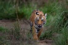 மாயமான T23 புலி.. 8 நாள்களுக்கு பின் சிசிடிவி கேமராவில் சிக்கியது - வனப்பகுதியில் தேடுதல் வேட்டை