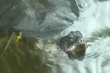 Video: వందేళ్ల వయసున్న అరుదైన తాబేలు మృతి