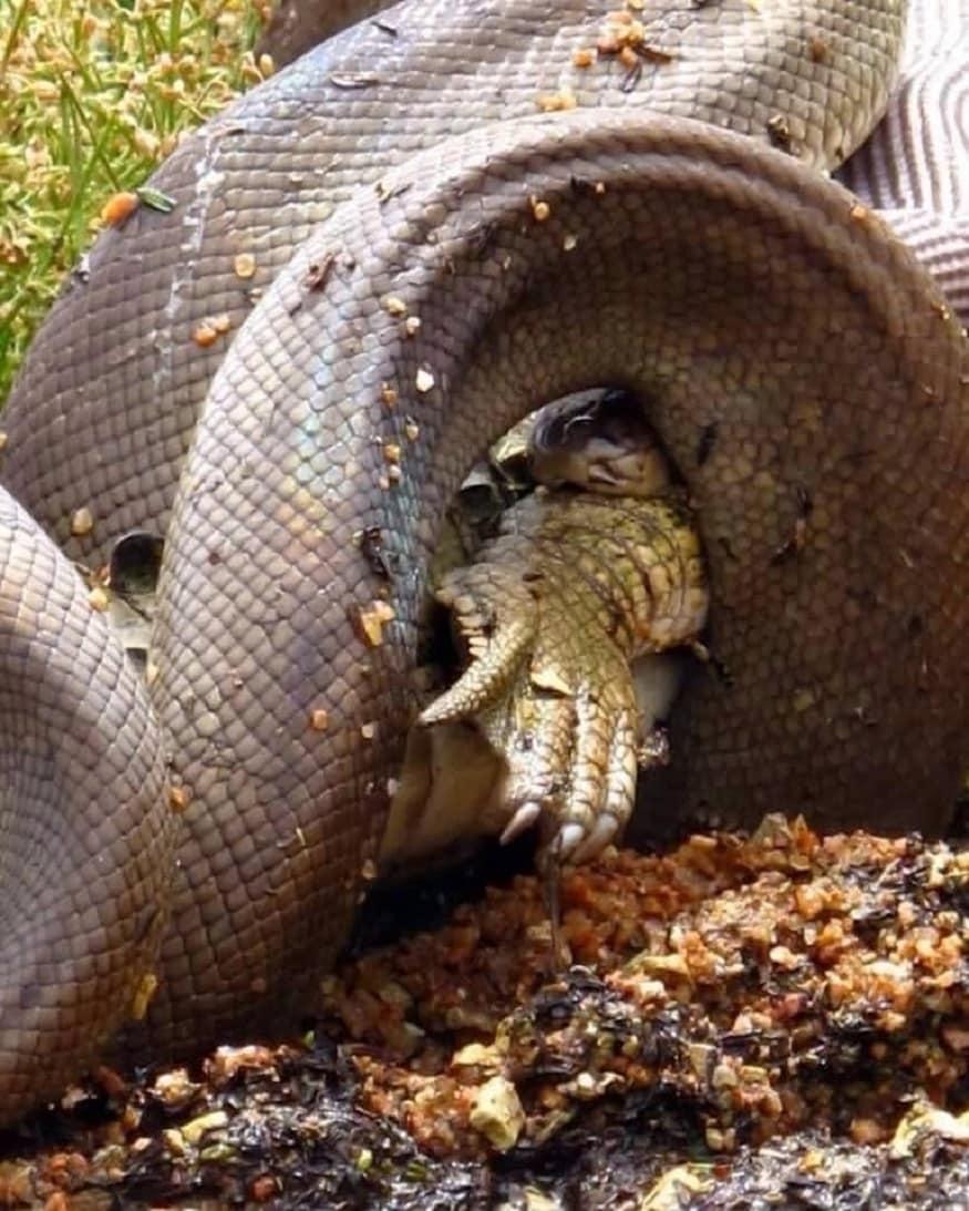 13 అడుగుల పైథాన్... మెల్లగా మొసలిని మింగేసింది. (GG Wildlife Rescue Inc)