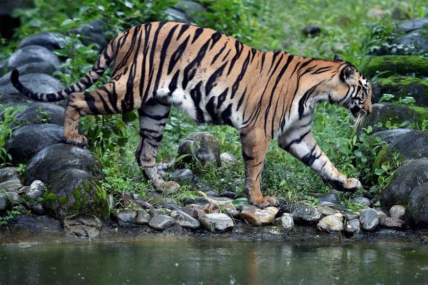 దేశంలో అత్యధికంగా మధ్యప్రదేశ్లో 526 పులులు ఉన్నాయి.