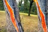 Video : విచిత్రం... చెట్టు లోపల పడిన పిడుగు
