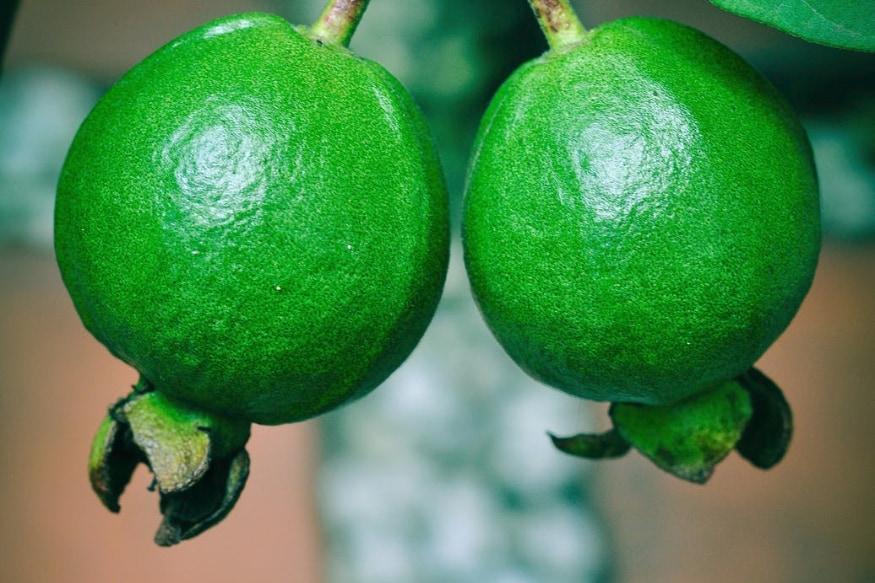Guava : జామకాయలో ఫైబర్ బోలెడంత ఉంటుంది. ఫైబర్ అనేది... మనం తినే ఆహారాన్ని వెంటనే జీర్ణం కానివ్వదు. అందువల్ల షుగర్ (పిండి పదార్థం) వెంటనే రక్తంలో చేరదు. అందువల్ల వెంటనే గ్లూకోజ్ లెవెల్స్ పెరగవు. అందువల్ల జామకాయలు... డయాబెటిస్ ఉన్నవారికి ప్రకృతి ఇచ్చిన వరం అనుకోవచ్చు.