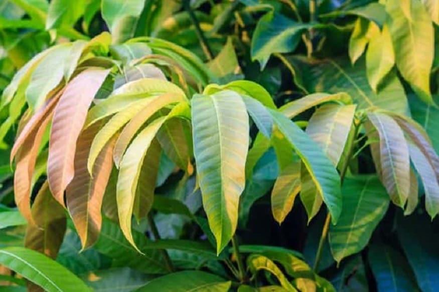 <strong>మామిడి ఆకులు (Mango Leaves) :</strong> ఇవి కూడా బాగా పనిచేస్తాయి. మామిడి ఆకుల రసానికి... ఆల్ఫా గ్లోకోసిడేస్ అనే ఎంజైమ్ని నిరోధించే శక్తి ఉంది. అందువల్ల మామిడి ఆకుల రసం తాగితే... బ్లడ్లో షుగర్ లెవెల్స్ కంట్రోల్లో ఉంటాయి. ఇందుకు సంబంధించి మరిన్ని పరిశోధనలు జరుగుతున్నాయి.