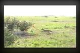 Video: సింహాన్ని ఆటపట్టించిన నక్క.. వైరల్ వీడియో