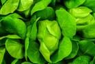 Lettuce: కీళ్ల నొప్పులకు సరైన మందు పాలకూర
