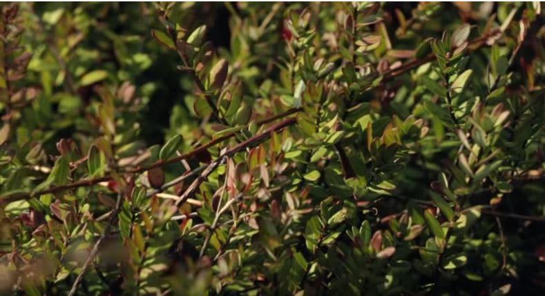 ఈ మొక్కలకు నీరు చాలా అవసరం. స్వచ్చమైన నీటిలో పెరుగుతాయి. మొక్కలకు కాయలు రాగానే నీటిని అందిస్తారు. నీటిలోనే క్రాన్బెర్రీస్ పెరుగుతూ... తెలుపు నుంచి ఎరుపు రంగు వస్తాయి. (credit - youtube - TRUE FOOD TV )