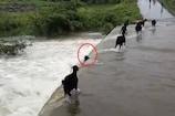 Telangana Rains: వరద ప్రవాహంలో కొట్టుకుపోయిన మేకలు..