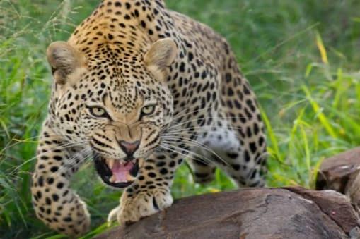 Leopard in Hyderabad: హైదరాబాద్ గచ్చిబౌలిలో చిరుత కలకలం.. క్లారిటీ ఇచ్చిన అధికారులు