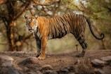 Tiger: మళ్లీ కనిపించిన పెద్దపులి.. నిజమేనన్న అధికారులు.. ప్రజల్లో టెన్షన్