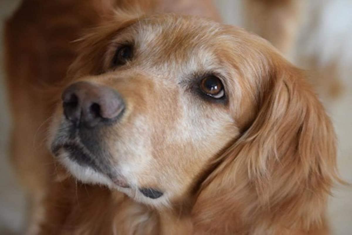License for pet dogs, Greater Hyderabad Municipal Corporation, GHMC, Online licencing system for pet dogs, Online licencing for dogs, పెంపుడు కుక్కలకు లైసెన్స్, ఆన్లైన్ లైసెన్సింగ్ వ్యవస్థ, గ్రేటర్ హైదరాబాద్ మున్సిపల్ కార్పొరేషన్, జీహెచ్ఎంసీ