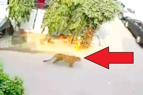 Leopard in the City: నగరంలో చిరుత పులి.. దిక్కులు చూస్తూ.. దర్జాగా వెళ్తూ.. వైరల్ వీడియో