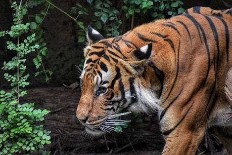 Tiger in Telangana: భద్రాద్రి కొత్తగూడెం జిల్లాలో పులి సంచారం ఘటనలో ట్విస్ట్