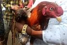 Cock Fights: లక్షల్లో కోడి పందేలు... చేతులు మారిన వందల కోట్లు...