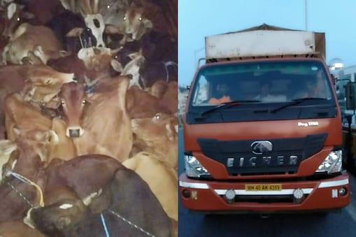 Cattle smuggling: దారుణం.. కబేళాలకు గోవుల తరలింపు.. అడ్డుకున్న గోరక్షాదళ్