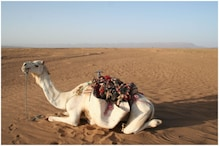 Camel: ప్రియురాలి పుట్టినరోజున ఊహించని గిఫ్ట్ ఇచ్చిన ప్రేమికుడు.. జైళ్లో పెట్టిన పోలీసులు..