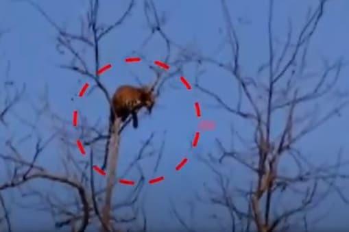 Tiger: చెట్టు పైకెక్కి మాటేసిన పులి.. భయాందోళనలో గ్రామస్థులు.. ఎక్కడంటే..?