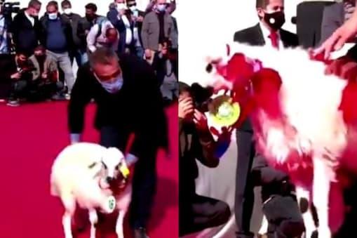 Beauty Pageant for Sheep: అందాల పోటీల్లో క్యాట్ వాక్ చేసిన గొర్రెలు.. సూపర్ అంటోన్న నెటిజన్లు..