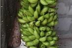 Rare Banana: ఏపీలో అరుదైన అరటి పండ్లు.. వాటి ప్రత్యేక ఏంటో తెలుసా..?